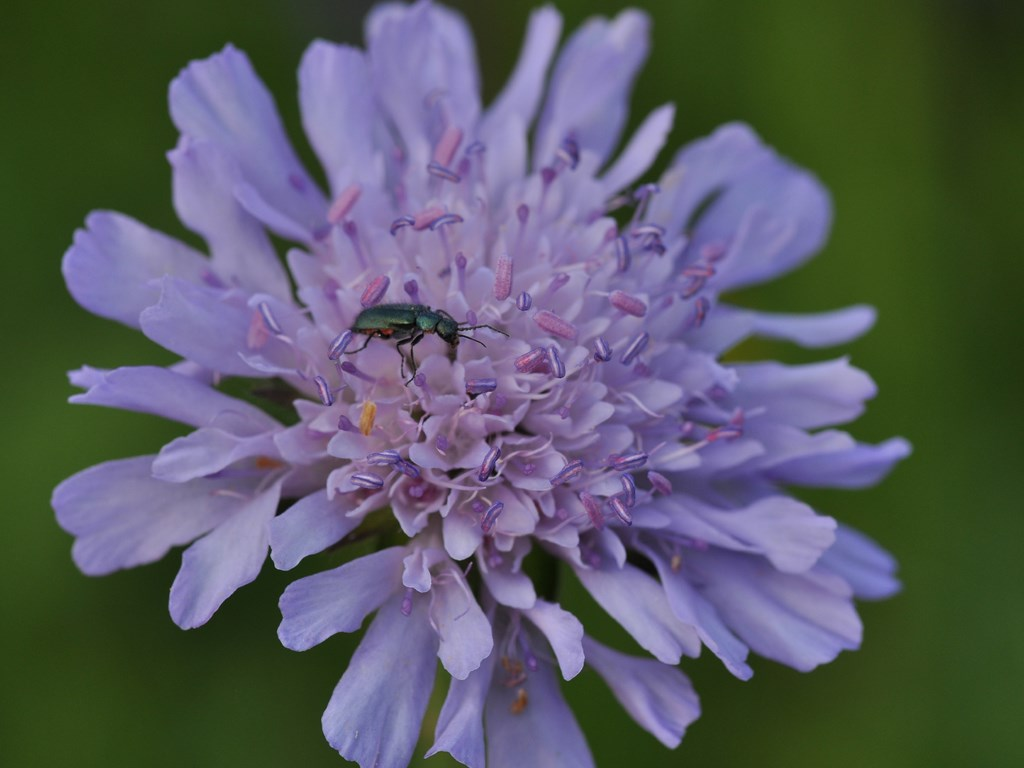 Knautie des champs, Feld-Witwenblume, Knautia arvensis. © Wolfgang Bischoff, Pro Natura